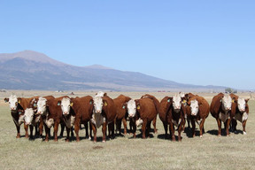 All these heifers sell!