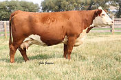 1161Y's Dam - CL 1 Dominette 4126P, pictured at 9 years of age.