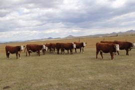 All of these heifers will be in the sale.