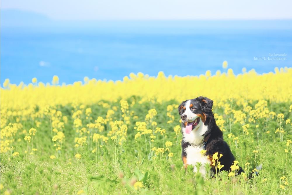 Bernese Mountain Dog-Lavender