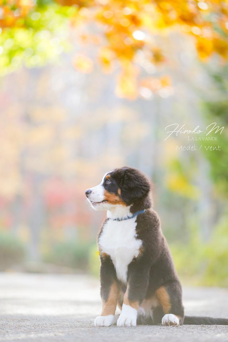 Bernese Mountain Dog-Vent
