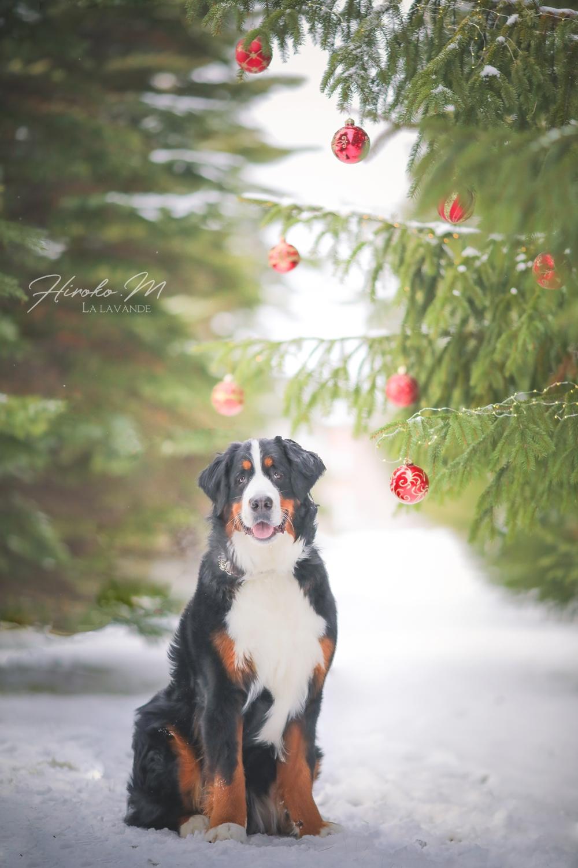 Bernese Mountain Dog-Leon