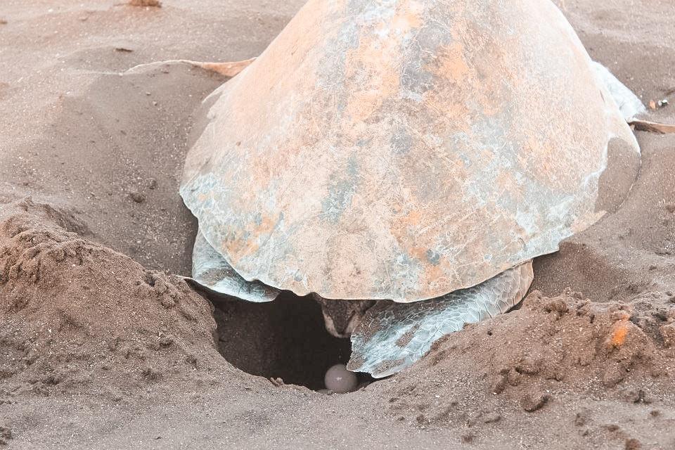 Tamarindo Turtle Tour Costa Rica.jpg
