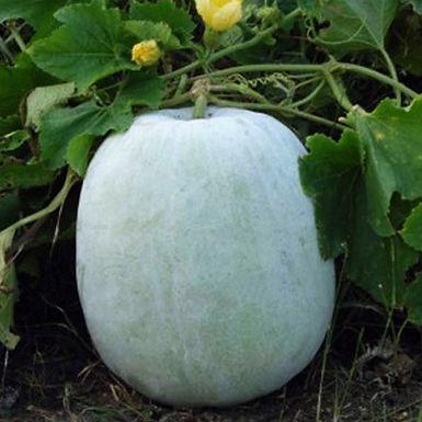 Ash gourd [zao pungma]