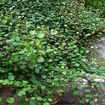 Muehlenbeckia Sealand compact.jpg