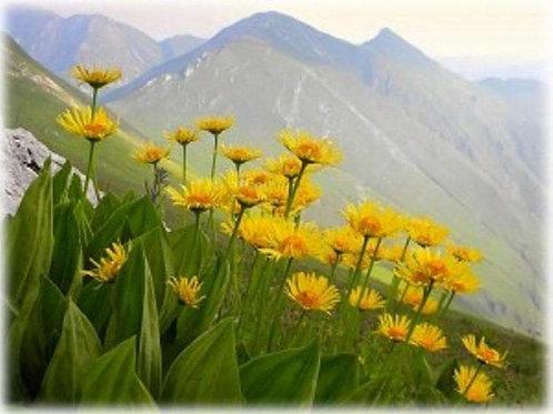 1000 Arnica Montana Seeds