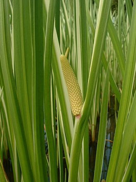 Acorus Calamus (Sweet Flag) Seeds
