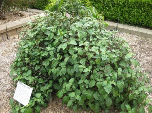 30 Patchouli Seeds (Pogostemon Cablin)