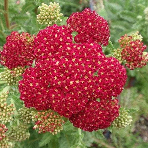 Red Yarrow (Achillea Millefolium) Seeds