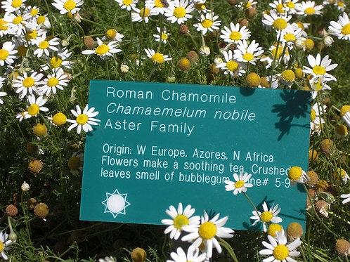 1 Ounce Chamomile Roman  Seeds Chamaemelum nobile seeds