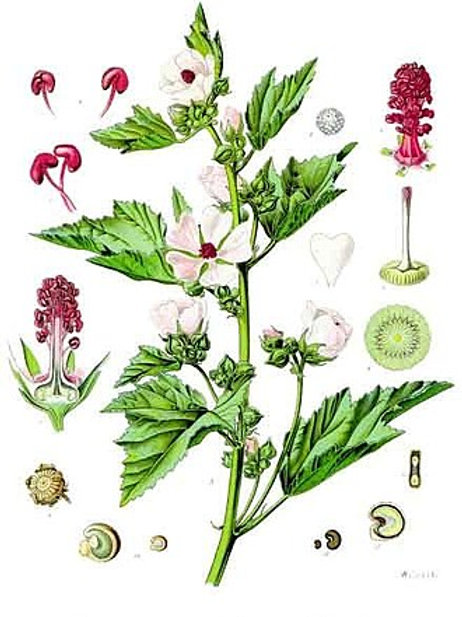 Marshmallow Seeds (Althaea officinalis)