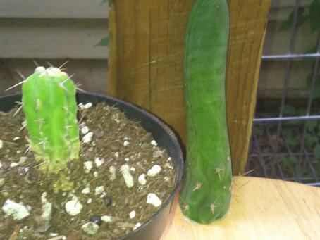 Best Sacred Cactus