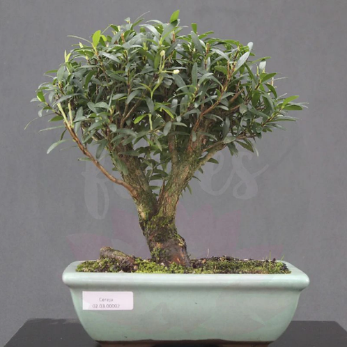 BONSAI CEREJA