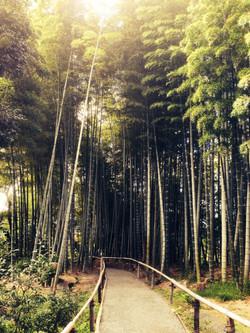 Forêt de bambous / Kyoto