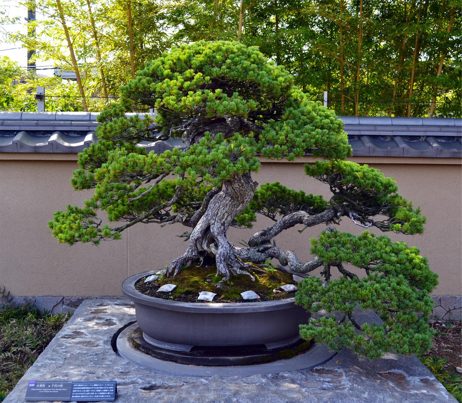 Plus vieux Bonsai du Monde / Tokyo