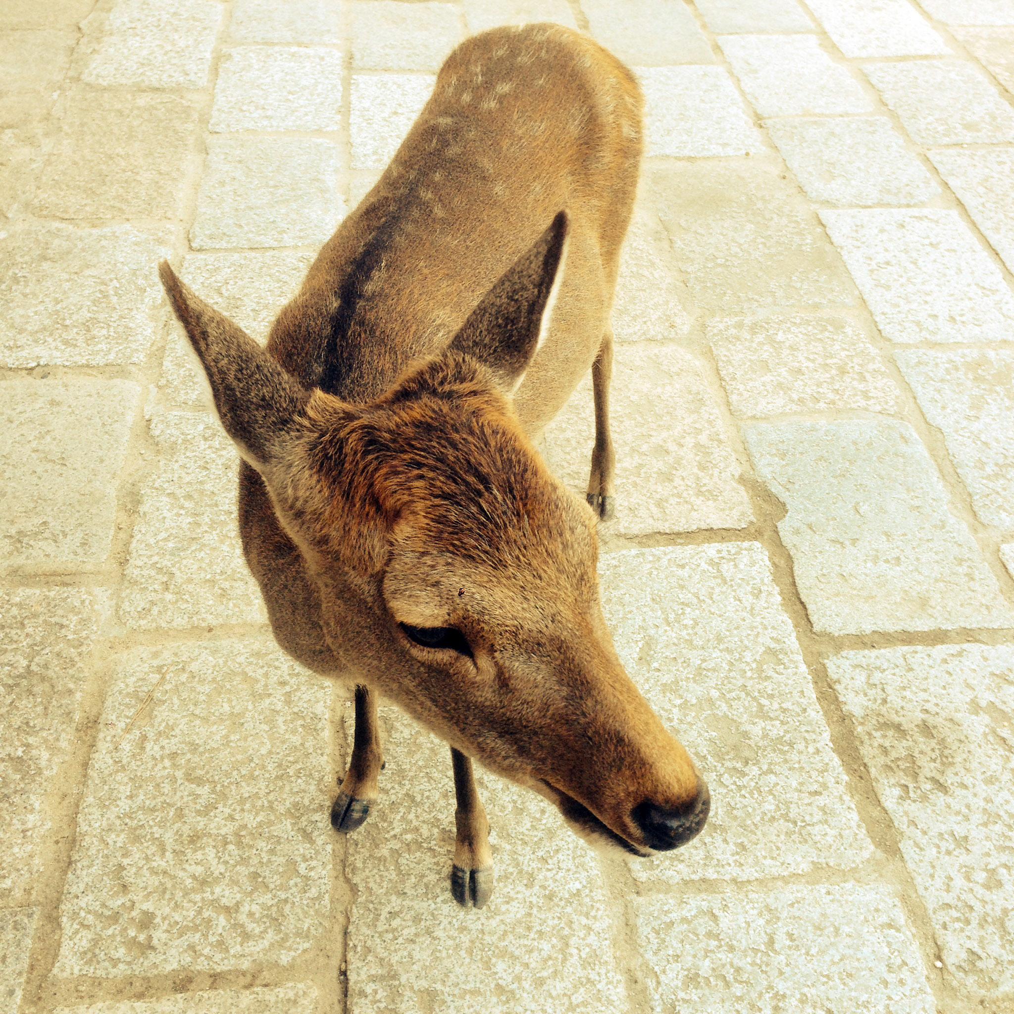 un cerf à Nara