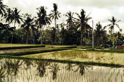 Rizières Ubud