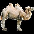 Wielbłąd