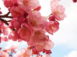 2016年 吉助の桜