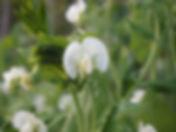 吉助 ・エンドウの花