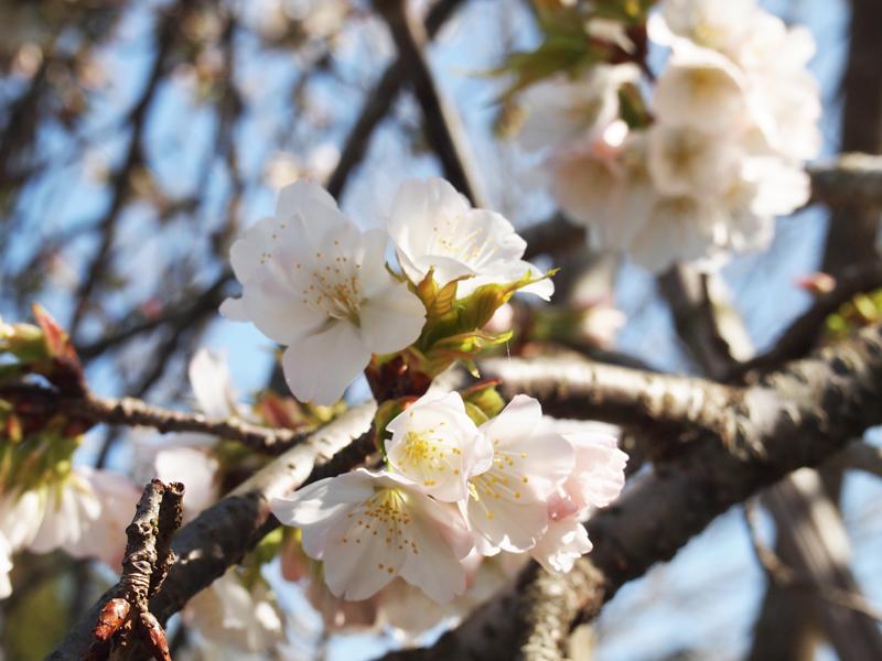2016年 吉助のしだれ桜