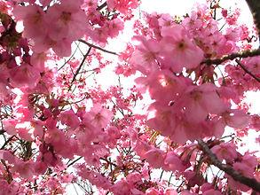 吉助・桜の花の塩漬け