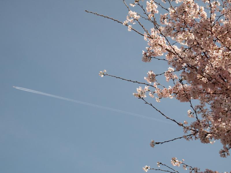 2016年 吉助の桜と飛行機雲
