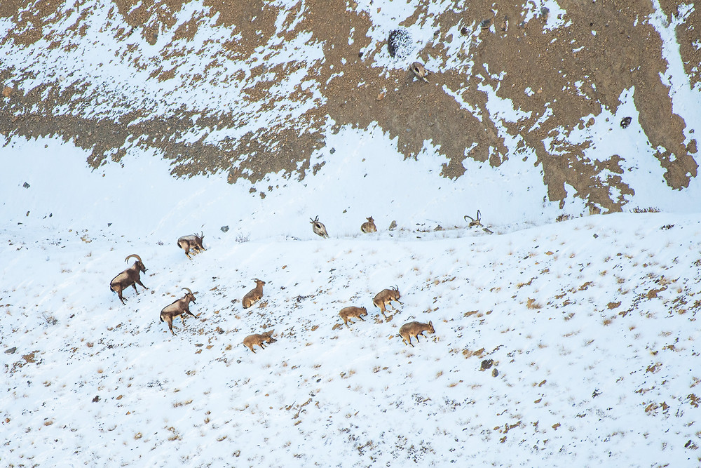 Ibex in search of Food