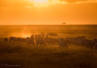 Zebras in Dawn Hours