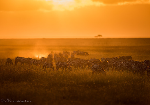 Zebras in Dawn Hours
