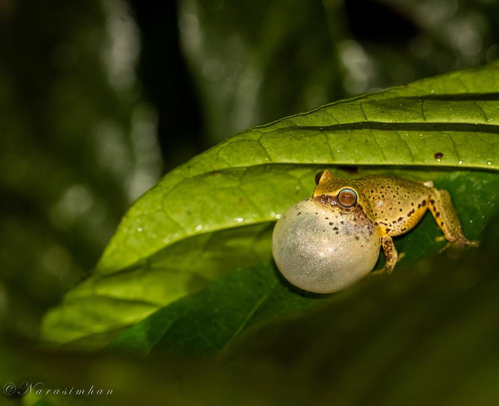 Croaking Glandular Bush Frog