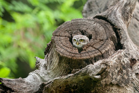 Spotted Owl,Theosophical Society