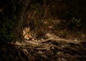 Tiger-Corbett-_D3S3047.jpg