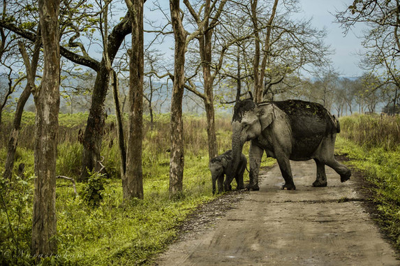 Mother & Calf,Elephants of Kaziranga