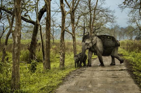 Mother & Calf,Elephants of Kaziranga
