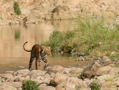 Tigress Parwali,Jim Corbett