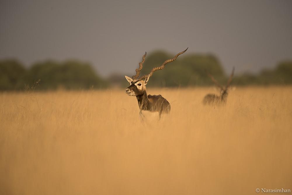 Blackbuck,Talchappar,Rajasthan