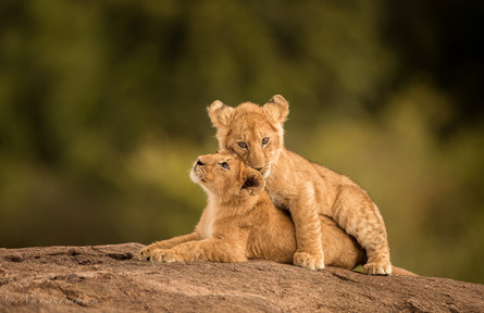 Lion Cubs of Masai Mara