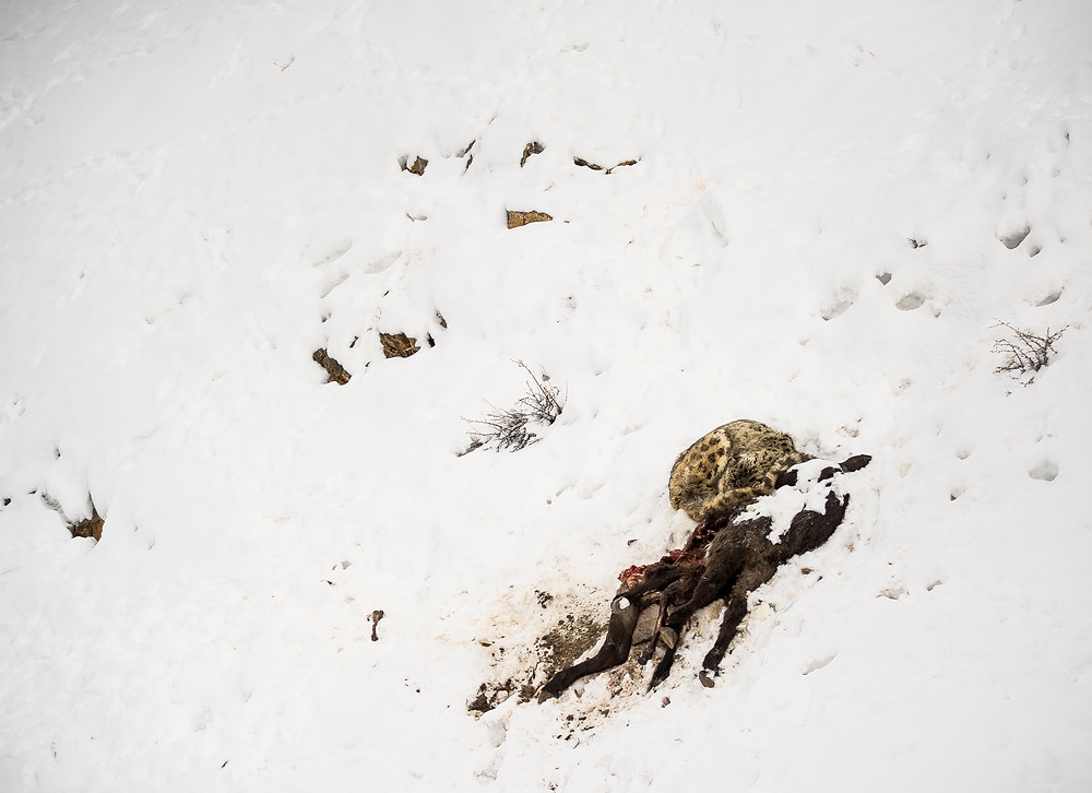 Snow Leopard with the Kill, a scape view