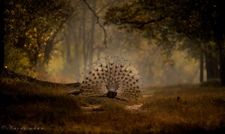 Dancing Peacock,Tadoba