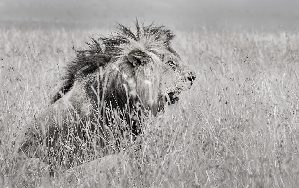 Stalking Lion,Masai Mara