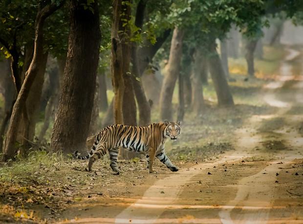 Tiger,Dudhwa