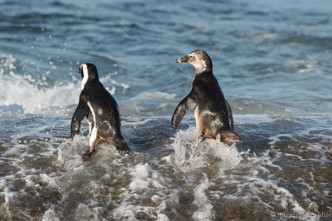 Penguins getting into water