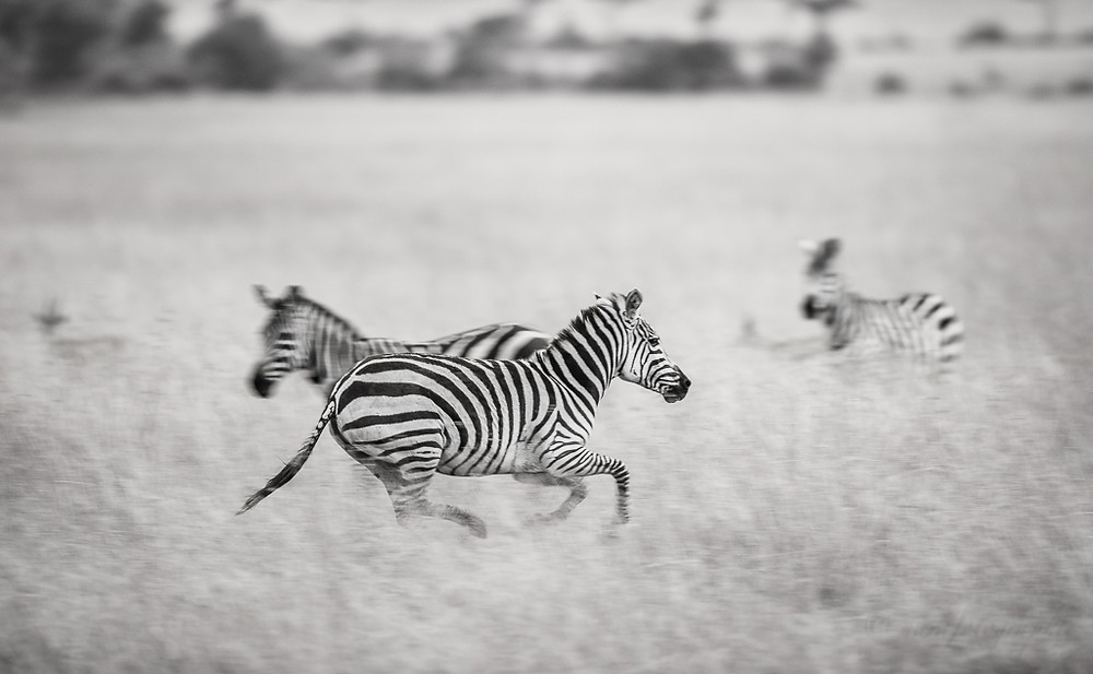 Zebras,Masai Mara