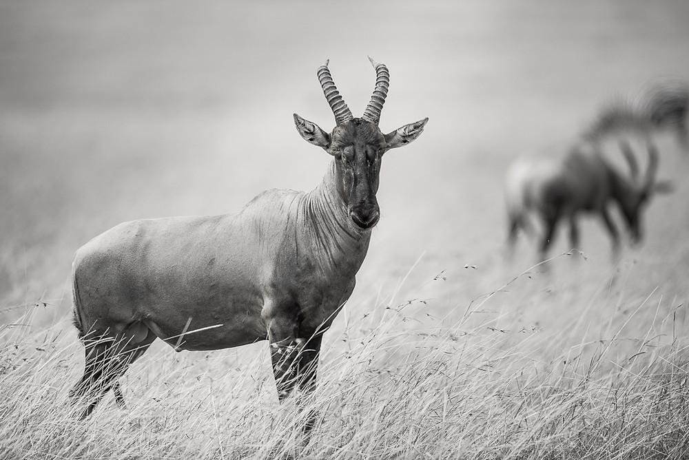 Topi,Masai Mara