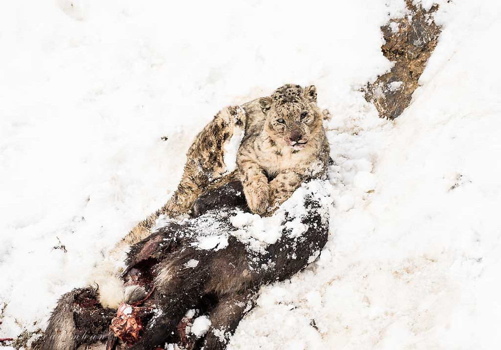 Snow Leopard,From Kibber,Taken during 2017 Expedition