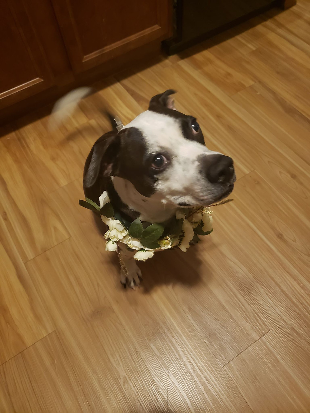 dog wearing david's bridal flower wreath collar