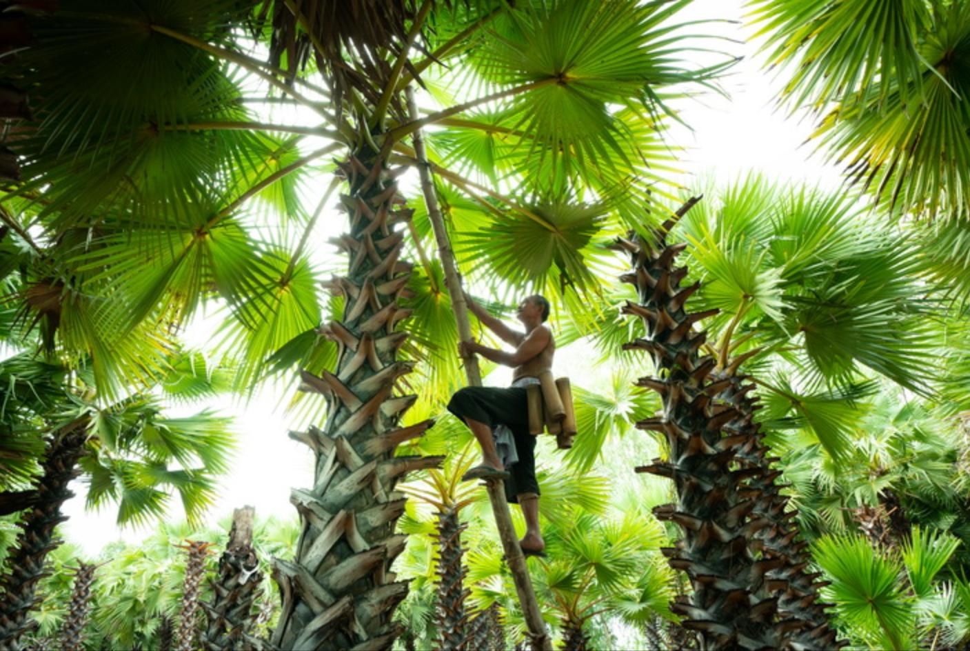 Making palm sugar at the local farm