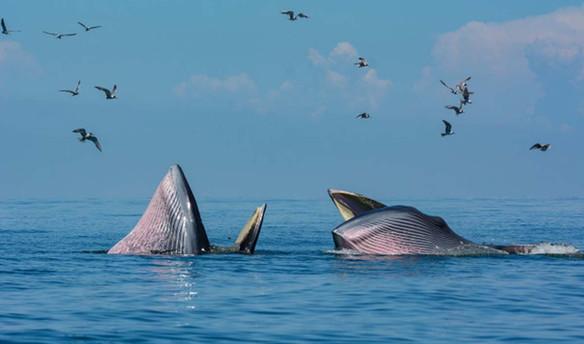 bryde-s-whale-gulf-thailand_38545-273.jp