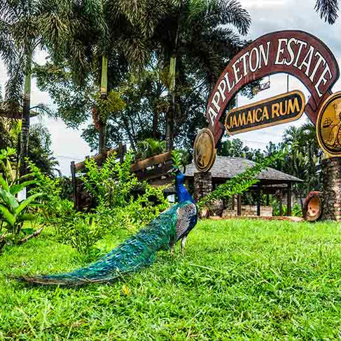 The Story of Jamaican Rum
